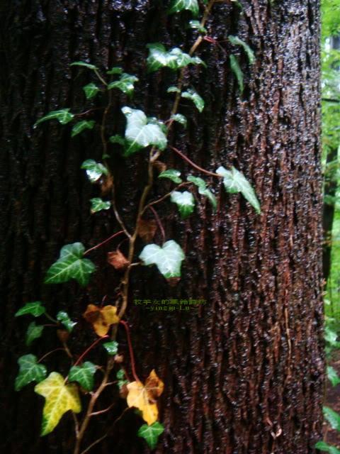 依附橡樹的常綠藤蔓