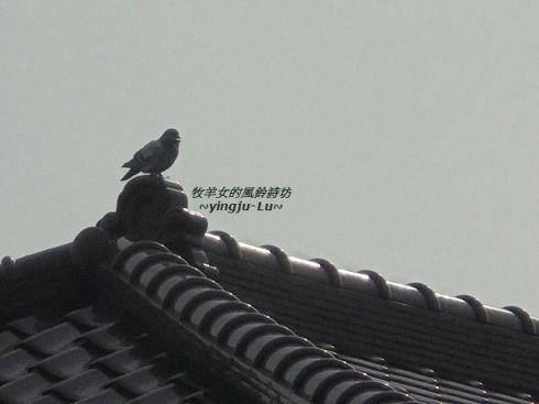 屋頂上的鳥